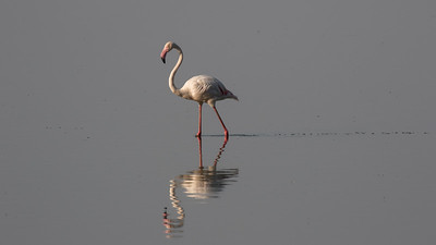 Greater Flamingo - Lake Manyara