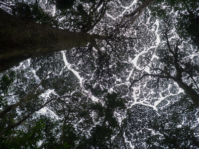 Nyungwe National Park, Rwanda. Tree canopy keep other trees at bay through toxic compounds.