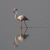 Greater Flamingo - Lake Manyara