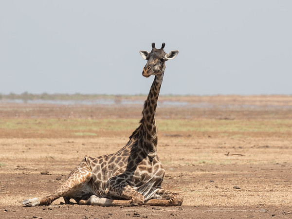 Giraffe at rest