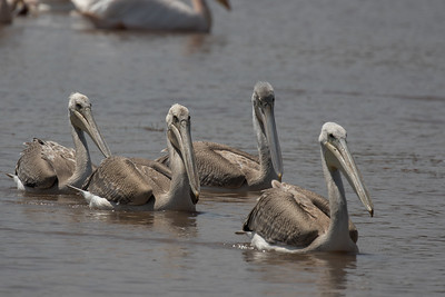 Juvenile Pelicans
