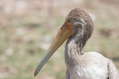 Juvenile Tellow-billed Stork