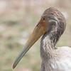 Juvenile Tellow-billed Stork