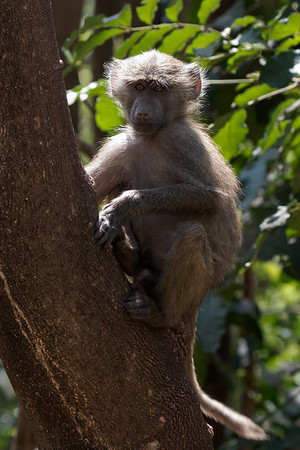 Young Olive Baboon
