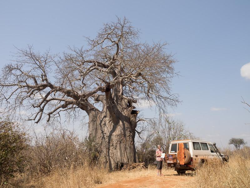 Giant Babobab Tree