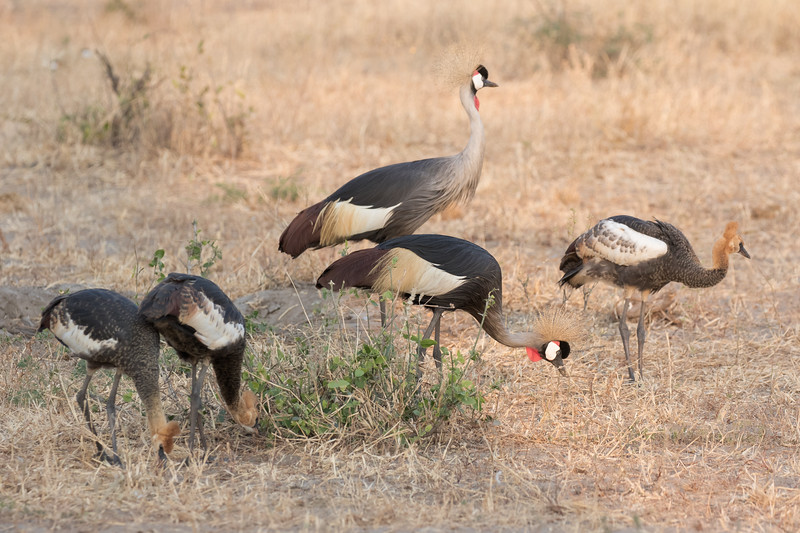 Adult and juvenile Grey Crowned Cranes