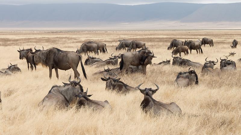 Wildebeest in the Ngorongoro crater