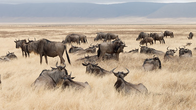 Wildebeest in the Ngorongoro crater