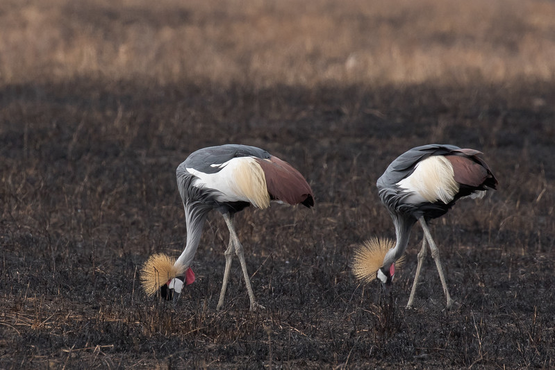 Crowned Grey Cranes