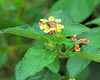Now it is back to the Lodge for some well-deserved down time before dinner.  For me, it is an opportunity to take some pictures.  Lantana and ant