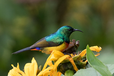 Regal Sunbird