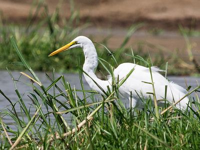 Great Egret, Kazinga Channel, Queen Elizabeth National Park