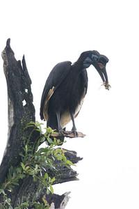 Abyssinian Ground-hornbill