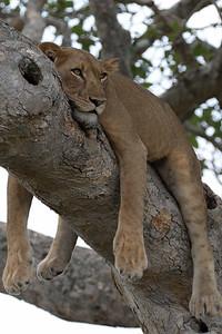 Tree-climbing Lions in Ishasha, QENP