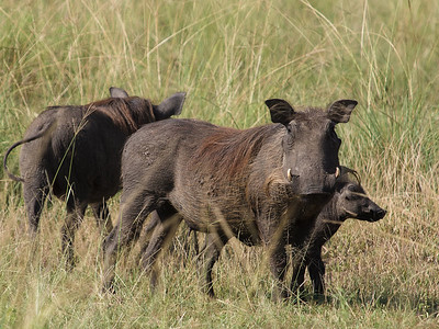Warthog, Queen Elizabeth National Park