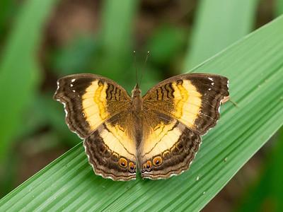 Butterfly, Lugogo Swap, ZIWA rhino reserve, Uganda