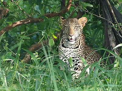 Leopard, Ziwa