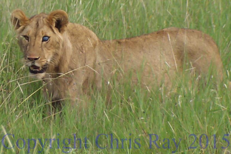 lionblueeye250905