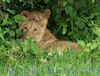 lions271295