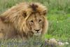 lionsmales311942