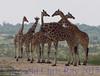 giraffes240816