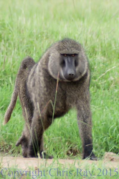 baboon281483