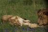 lions281588
