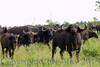 buffalo281579