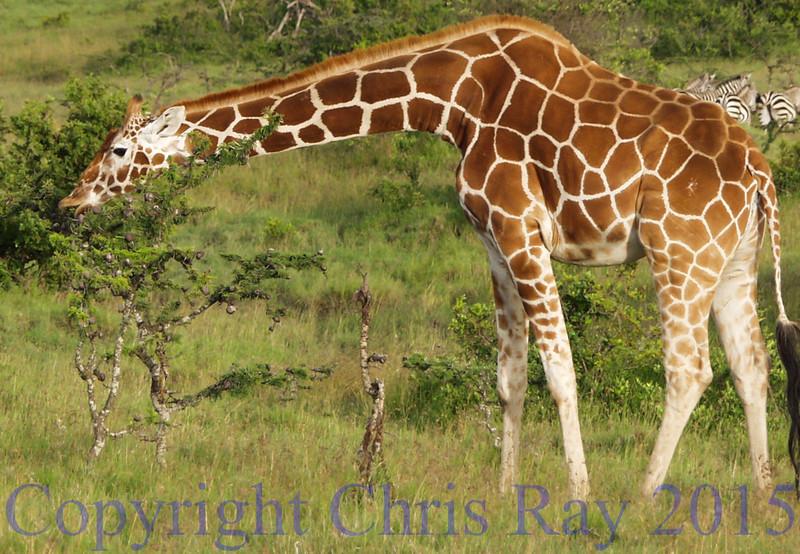 Giraffe230549