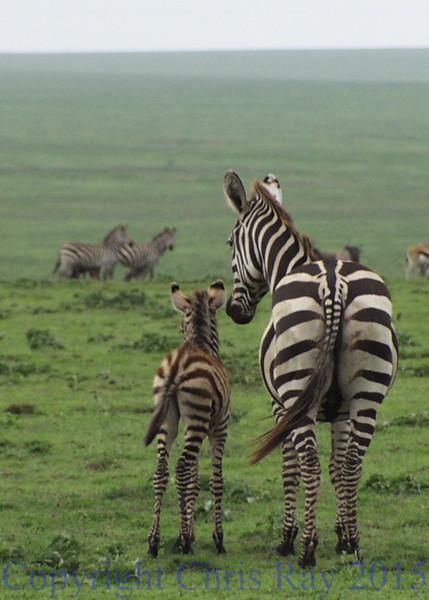 zebra&colt311891