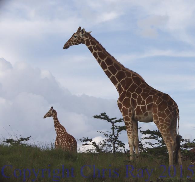 giraffes230552