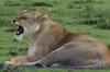 lion1022097