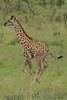 Giraffe261212