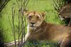 lions281370