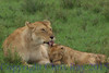 lioness&cub311921