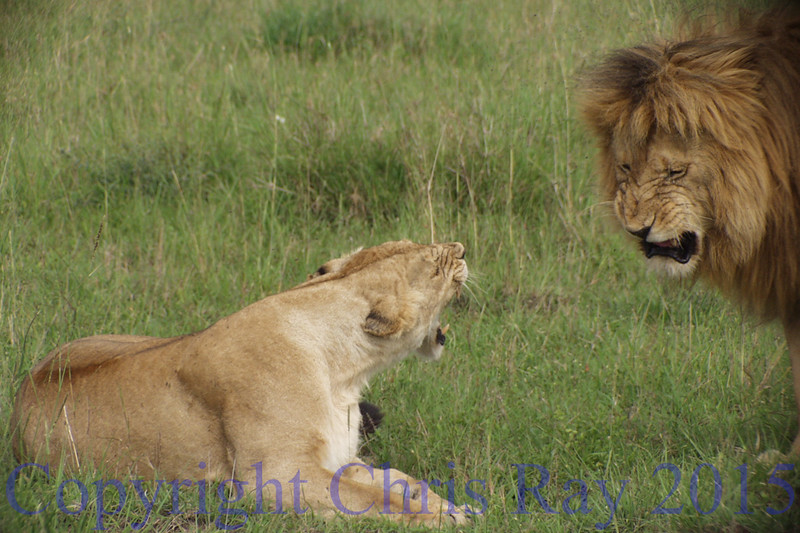 lionssnarl281582
