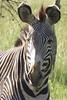 zebra230611