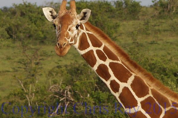 GiraffeA230547