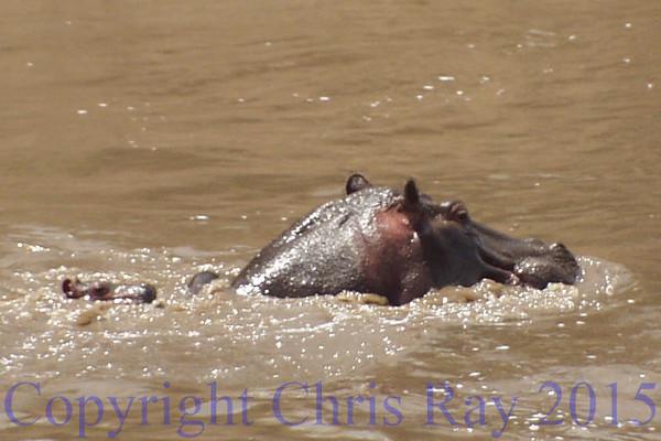 Hippo&pup281425