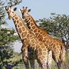 giraffes230608