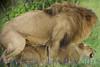 lionsmate281551