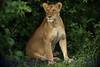 Lioness261238