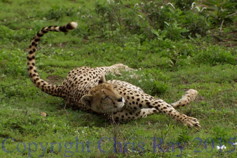 Cheeta1012060
