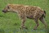 hyena271360