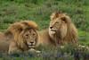 lion2males311940