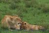 lioness&cub311922