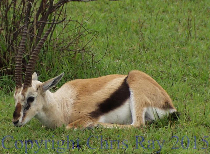 Gazelle271331