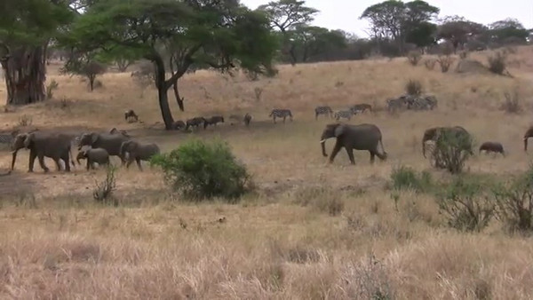 Click to play video: Elephants walking by.