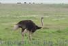 ostrich291688