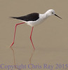 blackwingedstilt291675